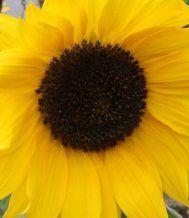 Die fröhlichste Blume im VOL.AT-Gartentipp