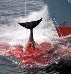 Weltweiter Walfang weiter eingeschränkt