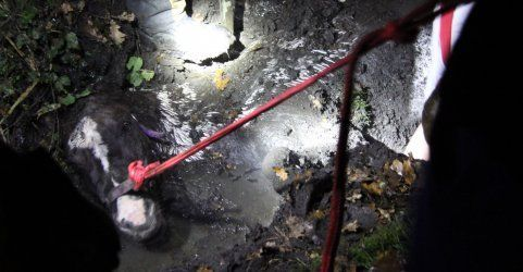 Mitternächtlicher Einsatz: Pferd aus Graben in Lustenau gerettet