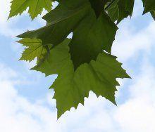 Der Baum als Schattenspender