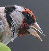 Vogel des Jahres 2016: Das schwere Leben des Stieglitz