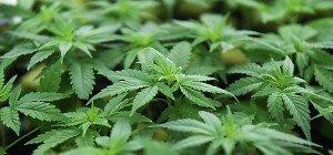 Deutsche Ärzte gegen Cannabis auf Krankenschein