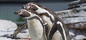150.000 Pinguine in der Antarktis verhungert