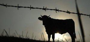 Rinder-TBC-Verdacht: Zwei Hof-Sperren aufgehoben