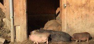 Doppelmayr-Zoo in Wolfurt: Die Ferkel sind los!