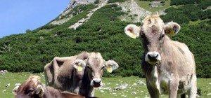 Weitere Rinder-TBC-Verdachtsfälle in Vorarlberg