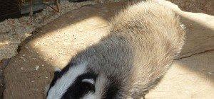 Not-OP für eine Dachs-Dame im Wiener Tierschutzverein