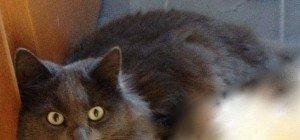 Bürs: Katze Nero vermisst