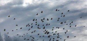 US-Künstler bittet 2.000 Tauben zu Tanz der Lüfte