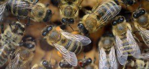 Wanderer in Arizona starb nach Attacke eines Bienenschwarms