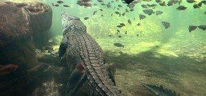 Frau nach Krokodil-Attacke in Australien vermisst