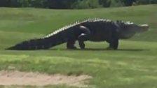Monster-Alligator spaziert über Golfplatz