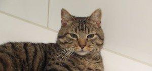 Tigerkatze aus Lochau vermisst