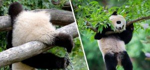 Why Pandas Are Endangered: Die besten Fail-Videos der tollpatschigen Bären