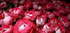 Blumen-Trends zum Muttertag 2016: Blasses Rosa bis kräftiges Rotviolett