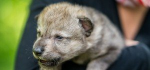 Babywölfe in Wien gelandet: 'Nachwuchs' für Wolfsforschungszentrum
