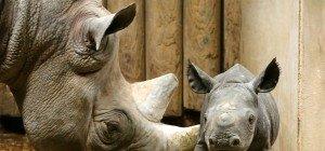 Spitzmaulnashorn wohlbehalten zur Auswilderung in Afrika angekommen
