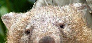 "Netz trauert um ""depressiven"" Wombat Tonka"