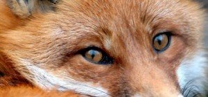 Junger Fuchs drang in Wohnung in Wien-Döbling ein – von Hund getötet