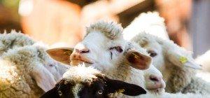 Bürgerforum: Störendes Gebimmel von Schaf-Glöckchen