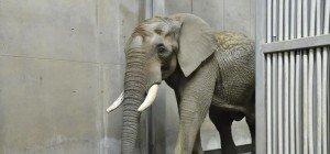 "Neuzugang: Elefantenbulle ""Shaka"" im Wiener Tiergarten Schönbrunn"