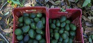 Avocado-Boom führt zu illegaler Abholzung in Mexiko