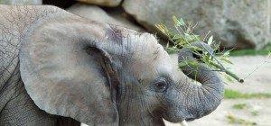 Elefantenmädchen Iqhwa feiert Geburtstag im Tiergarten Schönbrunn