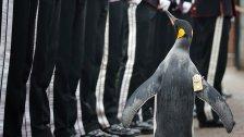 Königlicher Pinguin - Sir Nils Olav ist jetzt General!