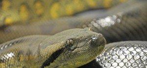 Schlangen-Alarm an Badesee – Suche nach Anakonda