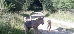 Nach über 100 Jahren: Wolfnachwuchs in NÖ gesichtet