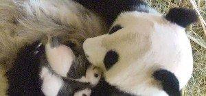 Schönbrunn: Freude über prächtige Entwicklung der Panda-Zwillinge