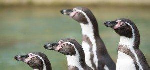 """Studenten """"befreiten"""" Pinguin aus südafrikanischem Tierpark"""
