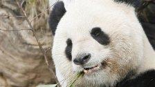 Schönbrunn trauert um seinen Panda Long Hui