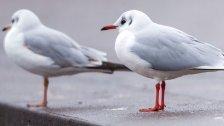 Vogelgrippe-infizierte Möwe in Stadt Salzburg