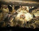 Vorarlberg: Fledermäuse belagern Balkon in Bregenz