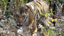 Tiger versetzen indische Dörfer in Aufruhr