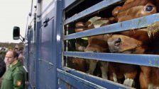 Viehvermarktung auch ins Ausland