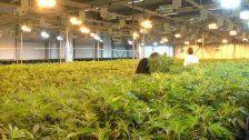 Das Geschäft mit Cannabis boomt