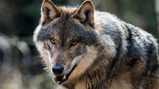 Sechs gerissene Schafe in Tirol – Verdacht auf Wolf