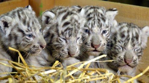 """Süß! Weiße Tiger-Vierlinge im """"Weißen Zoo"""" in NÖ geboren"""
