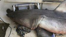 Großer Weißer Hai springt in Boot