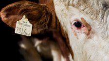 25-Jährige von Stier attackiert und verletzt