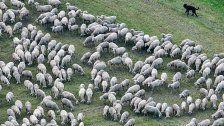 Nach Bärenattacke: 200 Schafe stürzen in den Tod