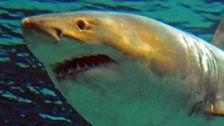 Mädchen surfte auf Hai, rettet sich so vor Attacke