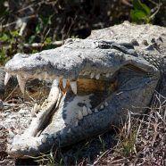 Polizei fand menschliche Überreste in Krokodilmagen